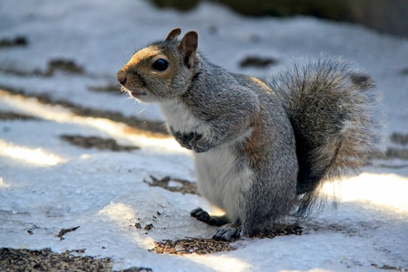 Little squirrel is looking for dinner in winter time. Stock Photo