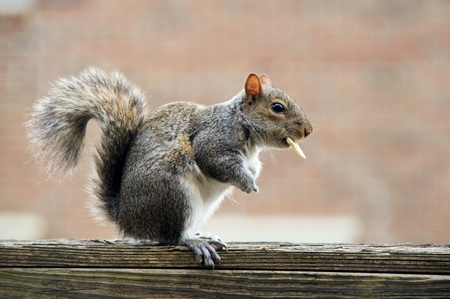 Little squirrel is sitting on the fence and eating cookie. Stock Photo