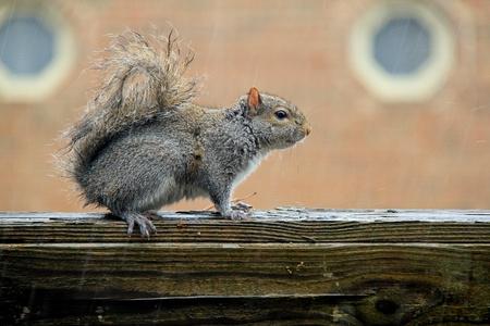 Squirrel is under the rain.