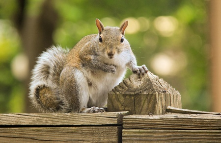 Squirrel is looking to the camera with funny face.