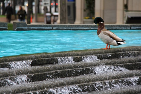 Duck is standing on fountains bordure in the center of city.