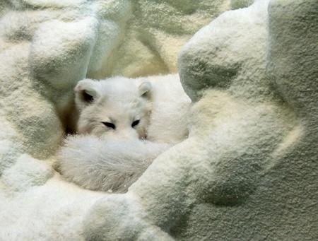 Model of arctic fox; Arctic fox is sleeping in the snow.