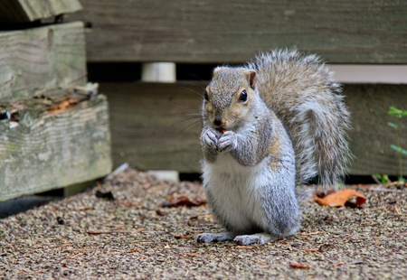 Squirrel is eating almond and sitting on grey carpet. Stock Photo