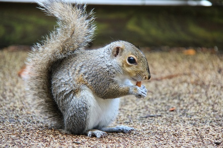 Small squirrel is sitting on carpet and eating almond at dinner.