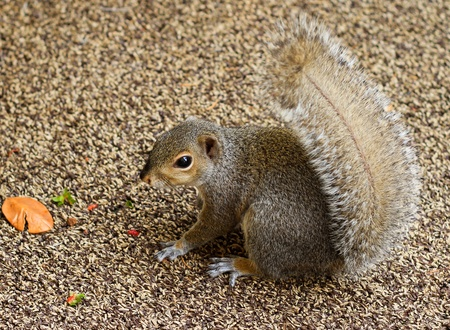 Little squirrel is sitting on the brown carpet.