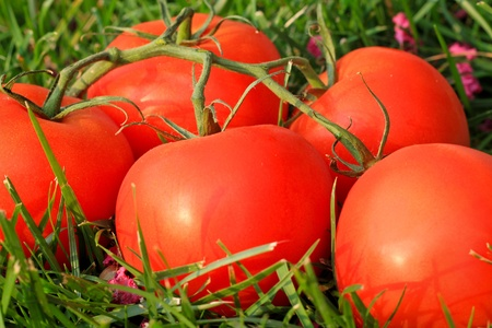 Red tomatoes are on green grass; summertime in the village. Stock Photo