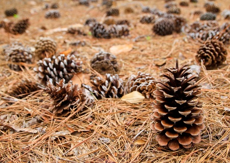 Pine cones are lying in the forest on fir-needles.