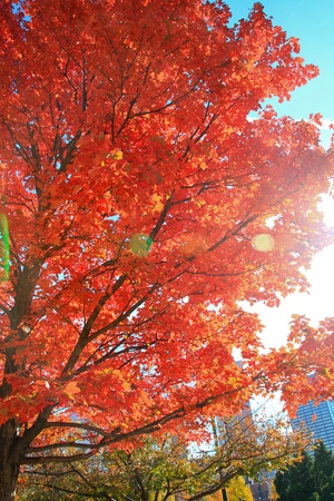 Amazing Fall Colors; red trees in the park.