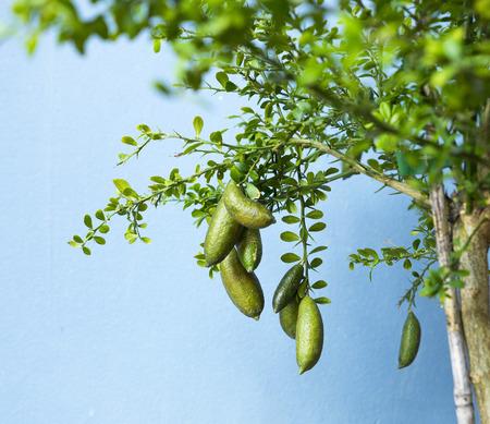 Australian Finger Kalk oder Kaviar Lime