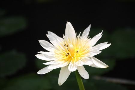 corbel: focus of white lotus