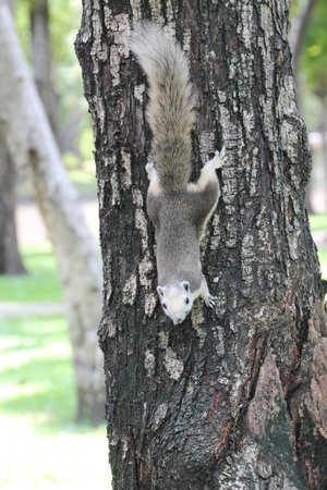creep: a squirrel climb down from a tree Stock Photo