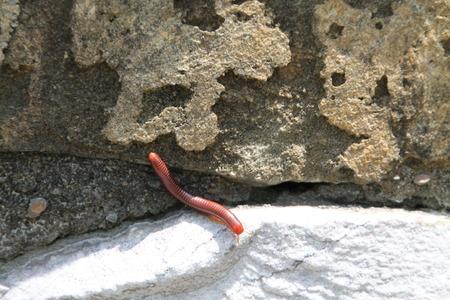 creep: a millipede crawls on stone Stock Photo