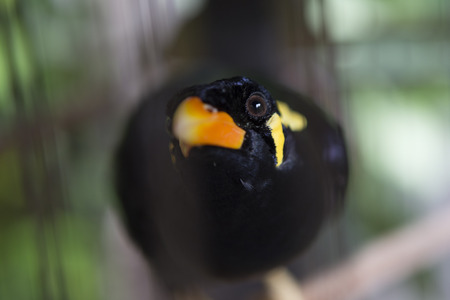 Caged common hill myna bird (Beo) looking into camera