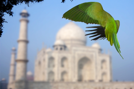 Rose ringed parakeet at the Taj Mahal - The Taj Mahal was built by Mughal emperor, Shah Jahan to house the tomb of his deceased favourite wife Stock Photo