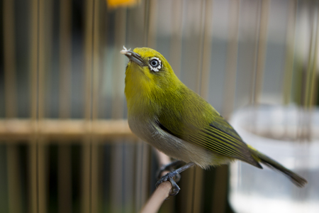 Caged Oriental white-eye bird (passerine), green with white and yellow belly
