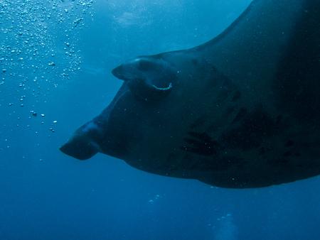 Manta rays at Nusa Penida (near Bali) Stock Photo