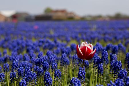 Durf anders te zijn - Nederlandse tulpenvelden