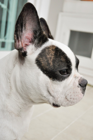 fench: Fench bulldog on the floor Stock Photo