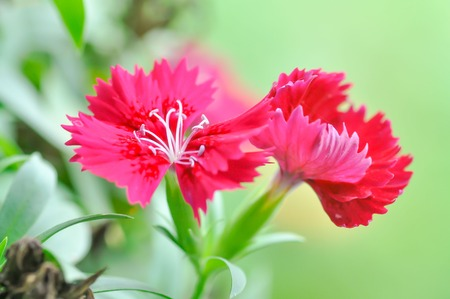 China Pink , Dianthus chinensis L  flower in the gaeden photo