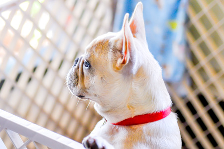 French bulldog in the cage photo