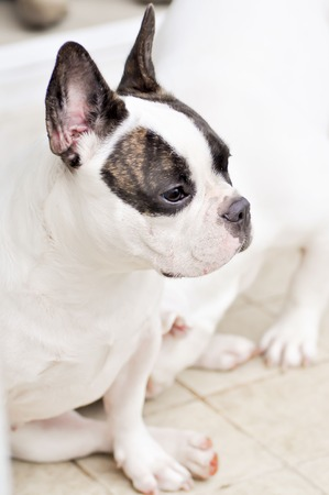 waiting French bulldog on the floor photo