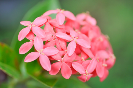 stamin: red west indian jasmine flowers