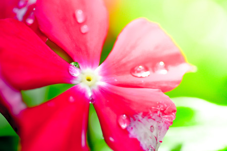 dew drop: dew drop on madagascar periwinkle flower Stock Photo