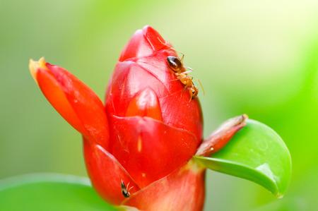 Costus speciosus,  Cheilocostus speciosus,Indian Head Ginger flower and ant photo