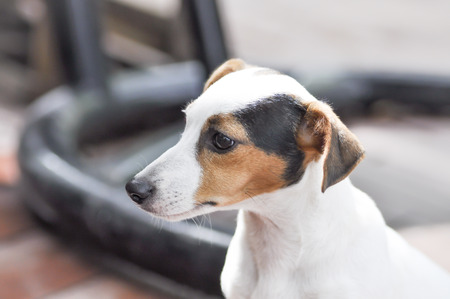 white, brown and black jack russell dog photo