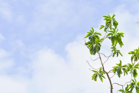 groene boom: green tree and blue sky background