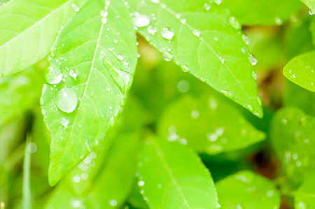 dew drop: dew drop and green leaf background,blur background,green background