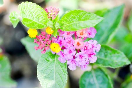 lantana camara: cloth of gold, hedge flower, lantana, lantana camara flower