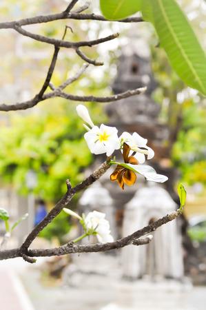 apocynaceae: frangipani flower,Plumeria  , Apocynaceae, Pagoda tree, Temple tree