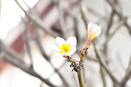 apocynaceae: Plumeria  or  frangipani flower or Apocynaceae, Pagoda tree or  Temple tree