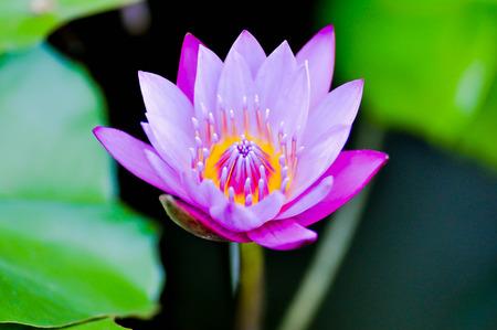 purple lotus in the pond photo
