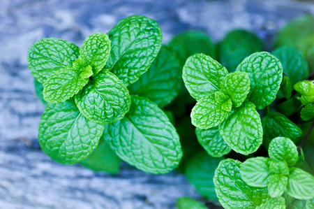 mentha cordifolia or or mentha piperita  peppermint plant Stock Photo