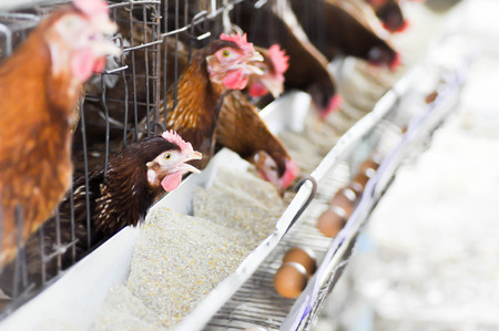 chicken cage: hens in the cages Stock Photo