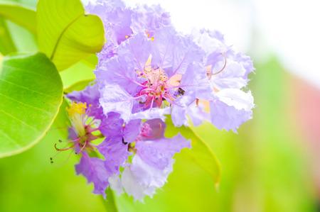 violette fleur: Nerium oleander, Rose Bay, fleur pourpre, fleur dans le jardin