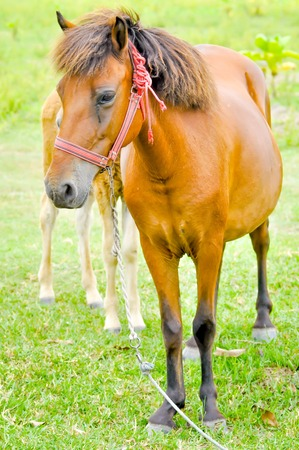 brown horse: a brown horse on the farm Stock Photo