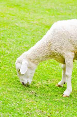 agri: a sheep s eating some glass  in the field Stock Photo