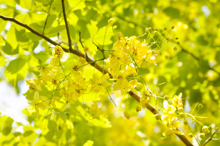 fabaceae: Golden shower or Cassia fistula or Fabaceae  flowers