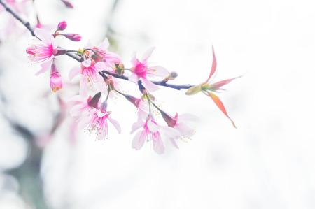 cherry blossom: Wild Himalayan Cherry, Cherry,Sour cherry,Sakura or Cherry Blossom flower