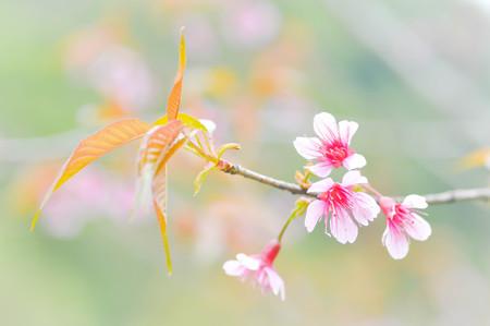 sour cherry: Wild Himalayan Cherry, Cherry,Sour cherry,Sakura or Cherry Blossom flower