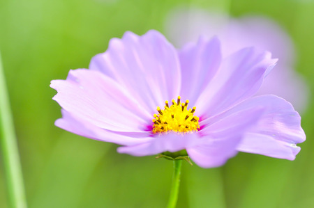 cosmos flower: cosmos flower or Mexican aster flower in the garden Stock Photo