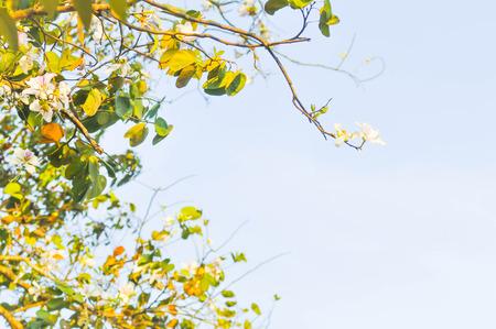 ebony: mountain ebony or bauhinia variegata flower and sky background Stock Photo