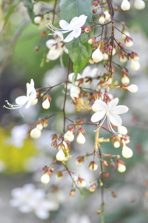 nodding: Nodding Clerodendron or Clerodendrum wallichii flower in blur background Stock Photo
