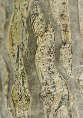 rind: Rind or tree bark in blur background