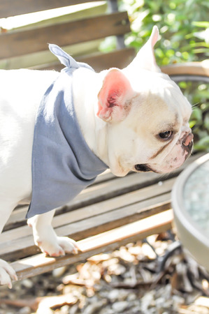 listless: absent-minded French bulldog on the bench