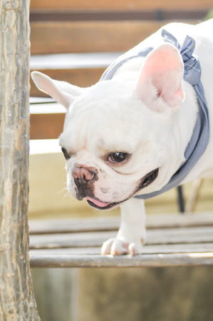 preoccupied: absent-minded French bulldog on the bench