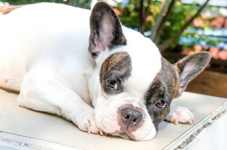 sad dog: unaware French bulldog on the floor, sad dog